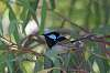 Superb Fairy Wren (Blue Wren)