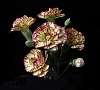 Fringed Carnations