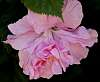 Another Pale Pink Hibiscus..............