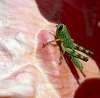 Baby Green Grasshopper..........