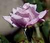 Pale Lilac Rose...................