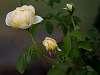 Family of Roses...............