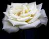 Soft Arctic White Rose.............