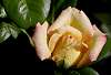 An apricot Rose.........
