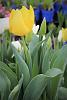 Yellow Tulip.