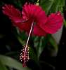 Healthy Red Hibiscus...........