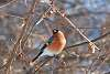 March Bullfinch