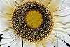 Sunny Sunflower.