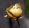 A Golden Rose..............