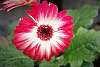 Red and white flower.