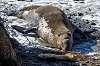 Elephant Seals Spring 2017