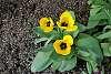 Tulips already.