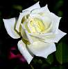 A Rich cream coloured Rose............