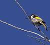 White Cheeked Honeyeater............