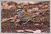 Information about White Throated Sparrows