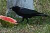 American Crows like Watermelon too.