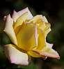 A subtle blended Rose...........