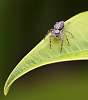 Small Jumping Spider...........