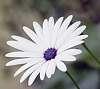 White Daisy............
