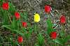 Some red and one yellow tulips.
