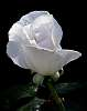 A White Rose..............
