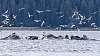 Humpback Whales Bubble-Net Feeding in Alaska