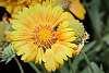 Yellow Dynasty Flower.