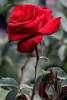 Neighbor's Red Rose.