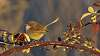 Fairy-wren at Sunset