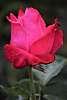 Lovely Red Rose.