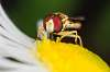 Syrphidae on Flower