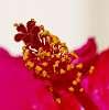 Red Hibiscus................