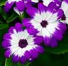 Purple & White.........