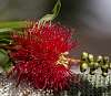 A Red Bottlebrush.............