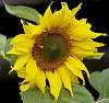 A sunflower bloom.......