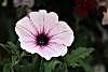 Pretty big, little flower.