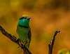 Green Bea Eater - Udawalawe NP - Sri Lanka