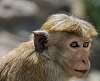 Toque Macaque [Macaca sinica]  - Sri Lanka