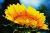 Beautiful and Big Sunflower.