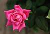 A Pink Lady Rose.