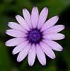 Lilac Daisy..............