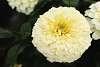 My White Snow Ball Flower.