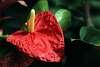 A Thurillium Plant, I believe.