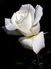 A White Rose..........
