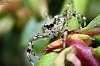 Lynx Spider @ 2:1