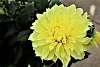 One Huge, Yellow flower.