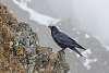 Beany raven