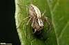 Bathurst Day Spider ( 2:1 )
