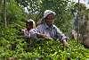 Tea-picker - Ella - central highlands - Sri lanka