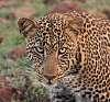 Leopard - Masai Mara (Kenya)